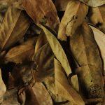 ocotea leaf